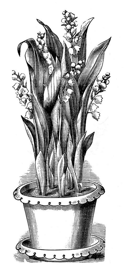 Vintage Botanical Clip Art - Potted Lily of the Valley