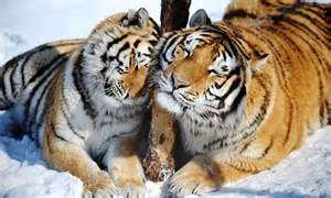 Contented Siberian tigers relax in the snow in Harbin