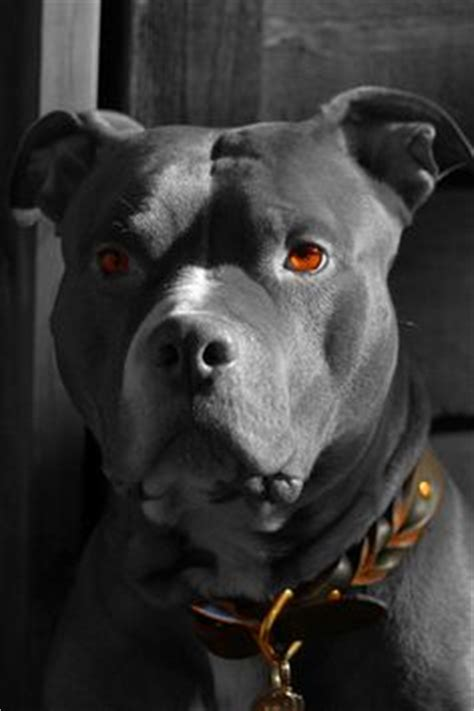 blue fawn american staffordshire terrier | short coated