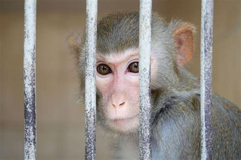 VW Monkey Testing Reflects Growing Unpopularity With