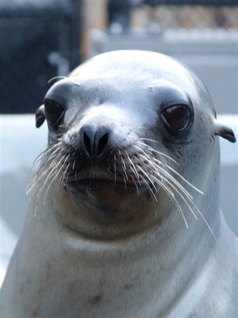 School Daze the sea lion rescued after trying to cross